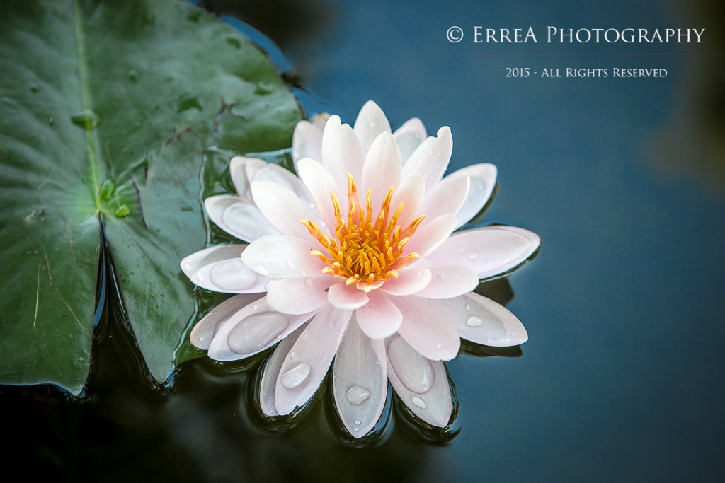 ErreA Photography - Nymphea Alba