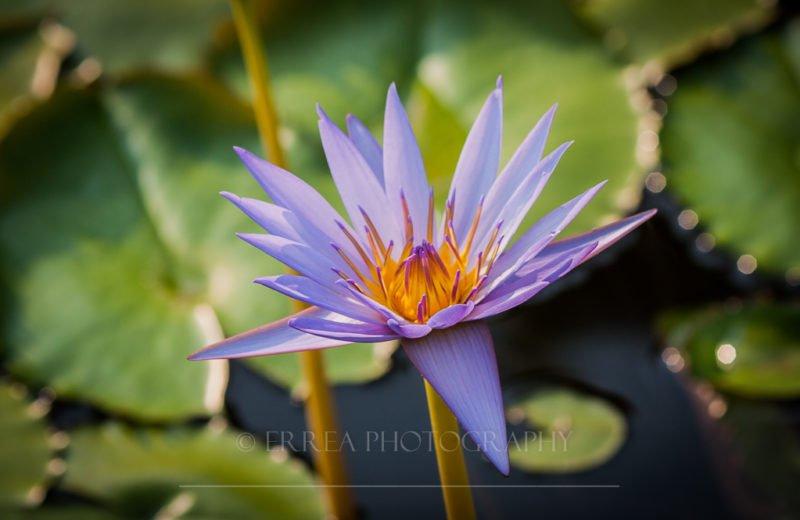ErreA Photography - Nymphea Alba